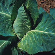 Cabbage Greyhound - Appx 2100 seeds